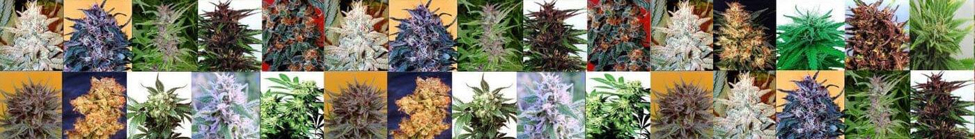 Элитные семена марихуаны